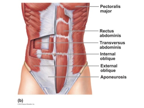 a-p-ch-6-muscular-system-lab-quiz-study-practice-abdominal-muscles-1-638